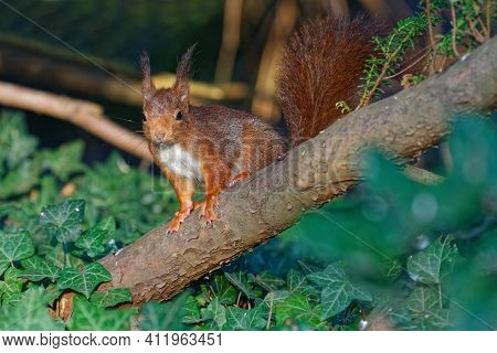 A Red Squirrel On A Branch. Red Squirrels Occupy Boreal, Coniferous Woods. In Western And Southern E