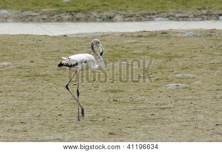 A beautiful Flamingo relaxing