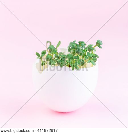 Spring Sprouts, Garden Cress In One Eggshell, On A Pink Background, Square Format