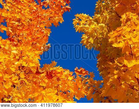 The Blue And The Gold - A Maple Tree Design In October - Redmond, Or