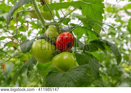 Still Green, Unripe, Young Tomato Fruits Affected By Blossom End Rot. This Physiological Disorder In
