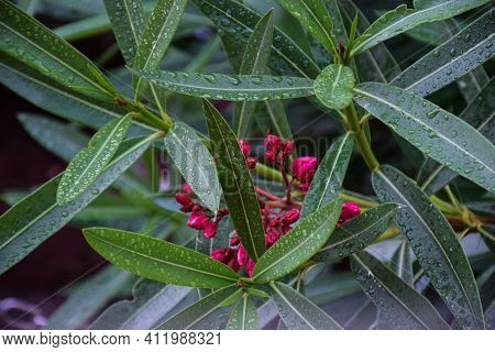 Stock Photo Of A Oleander Flower Plant Water Drops On On The Leaves In The Rainy Season At Kolhapur