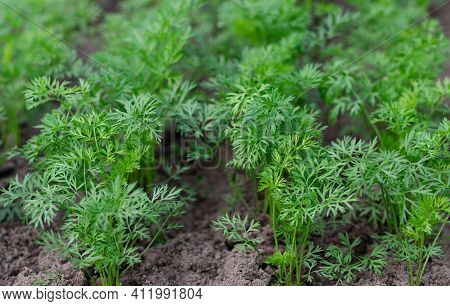 Young Seedlings Of Carrots Growing On A Farm Bed. Organic Farming Concept. Selective Focus.