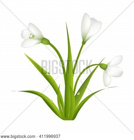 3 Snowdrops With Leaf, Isolated On White Background, Vector Illustration