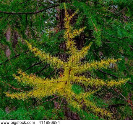Larch In The Fall - A Yellow Branch Of A Larch Tree In September - Metolius Preserve - Near Camp She