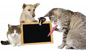 Intelligent tabby cat writing on a blank blackboard supported by its animal friends a mouse second kitty and jack russel terrier who are holding up the board in a team effort isolated on white poster