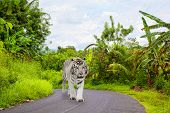 white Bengalese tiger goes on the asphalted road in the jungle poster