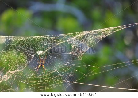 Bannana Spider On A Web