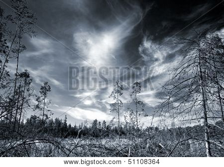 Dark paludal forest with dramatic sky. Monochrome photo for bogeyman stories illustrations poster