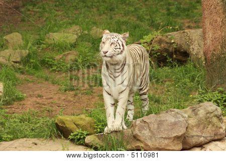 Standing White Bengal Tiger