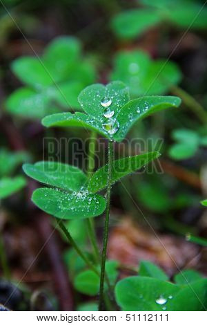 Spring green clover (shamrock) leaves with water drops