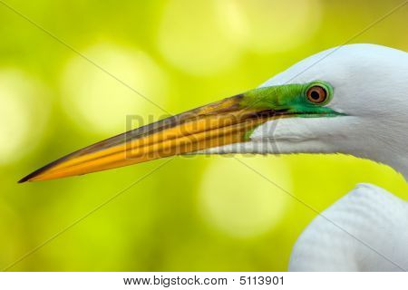 A Head Shot Of A Great Egret Up Close And Personal