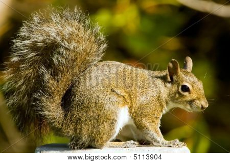 A Gray Squirrel Perched And Watching