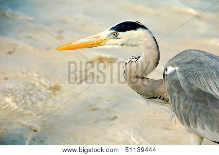 A grey heron on the beach at an island resort in the Maldives. poster