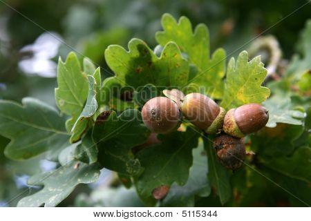 Acorns On A Branch