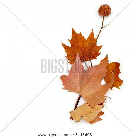 picture of a pile of dried leaves and some Platanus seed balls on a white background