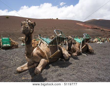 riding camels waiting in line for tourists at national park of lanzarote poster