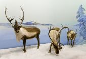 A family of caribou pause during winter in Saskatchewan Canada. poster