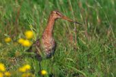 Godwit in a meadow looking through blurred yellow flowers poster