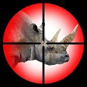 The White Rhinoceros in the Hunter's scope.  poster