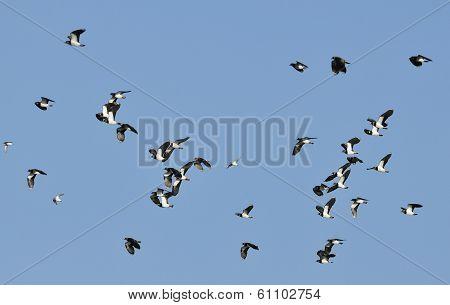 Flock of Lapwing