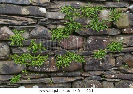 Ferns On An Old Stone Wall