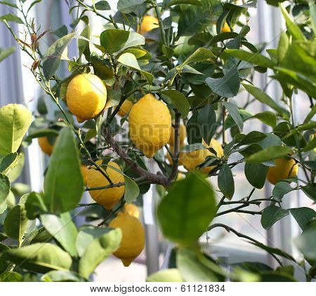 Yellow Lemons Hanging From The Tree Of The Lush Orchard