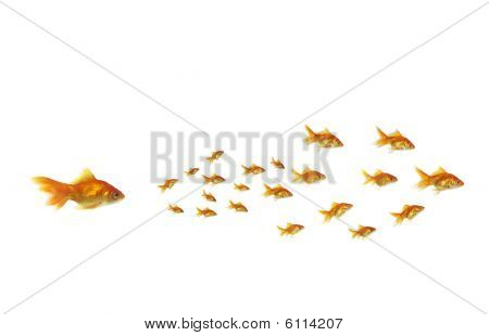 Goldfish Chasing Shoal