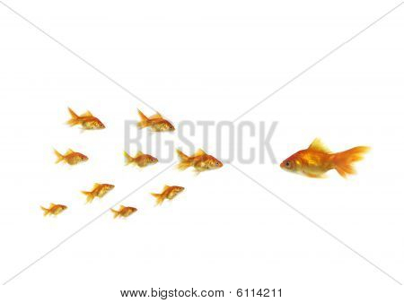 Flowing Goldfish Opposite Shoal