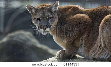 Mountain lion on a ledge