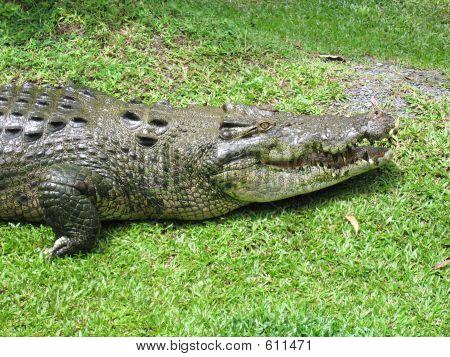 Saltwater Crocodile 19