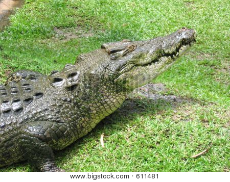 Saltwater Crocodile 28