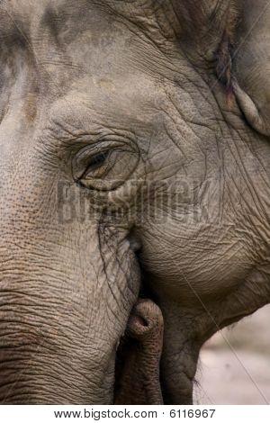 Indian Elefant