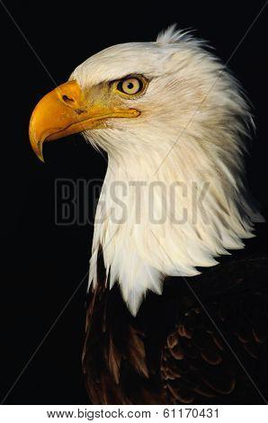 Bald Eagle Kodiak Alaska