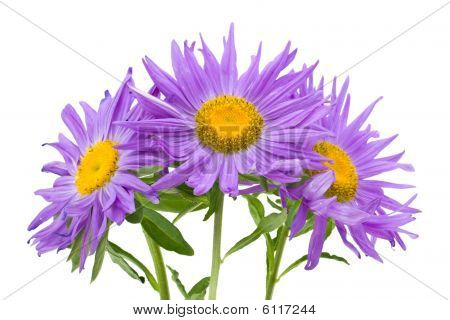 Three Violet Asters