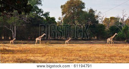 family giraf in zambia park