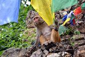 Monkey playing with Buddhist prayer flag in Swayambhunath Nepal poster