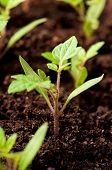 Green seedling of tomatoes growing out of soil poster