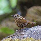 Babbler bird Streaked Wren Babbler (Napothera brevicaudata) standing on the rock taken in Thailand poster