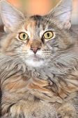 portrait of beautiful young maine coon cat poster