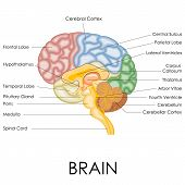 vector illustration of diagram of human brain anatomy poster