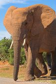 Bull Elephant in Musth. A very dangerous time to be around these aggresive male Elephants poster