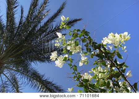 Branches Of Beautiful White Bougainvillea And Palm Tree