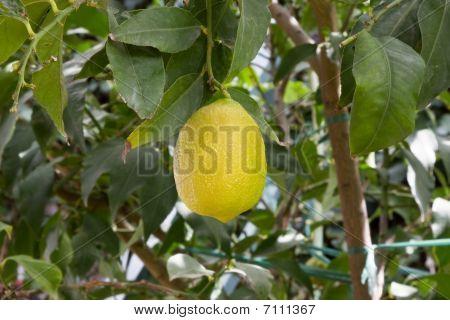 Yellow Lemon In Tree