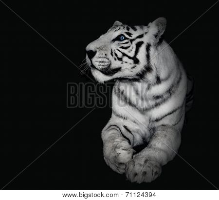 Powerful White Tiger On Black Background