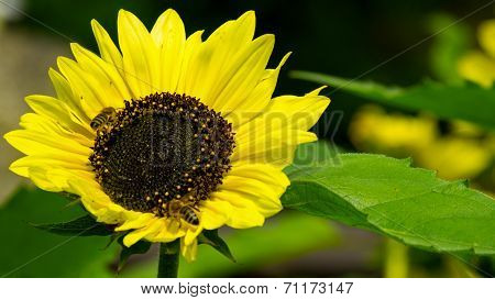 Sunflower with a leaf and bees polinating