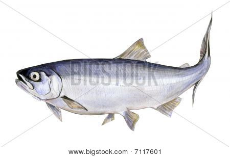Fish a salmon