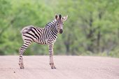 Small zebra foal standing on a road alone looking for his mother poster