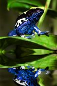 Poison dart frog Dendrobates tinctorius with reflection poster