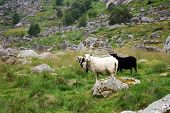 sheep on a mountain slope poster
